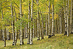 Grove of aspen trees, Populus tremuloides, in the Uncompahgre National Forest, Colorado