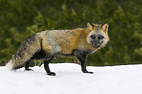 Cross fox walking across the top of a snowy hill - CA
