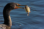 Cormorant with Prey Double-crested Cormorant Sanibel Island Florida Close Portrait