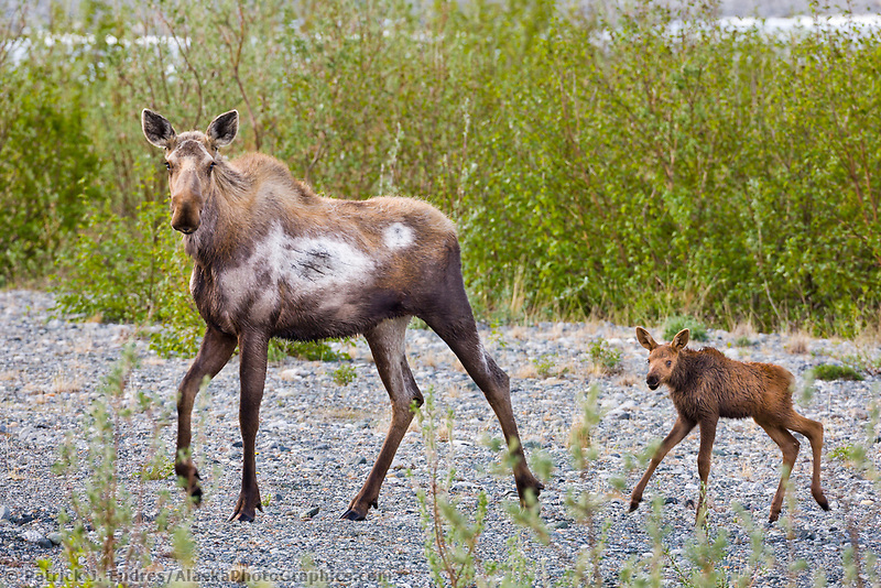 Cow and spring calf moose, Interior, Alaska.