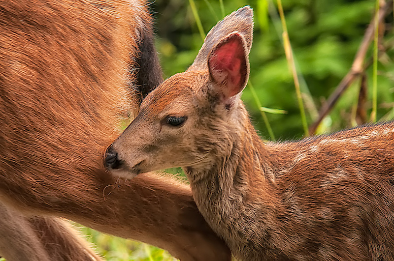 An adorable Columbian black-tailed fawn stays close to its mother on an chilly fall afternoon just below Hurricane Ridge on Washington's Olympic Peninsula.