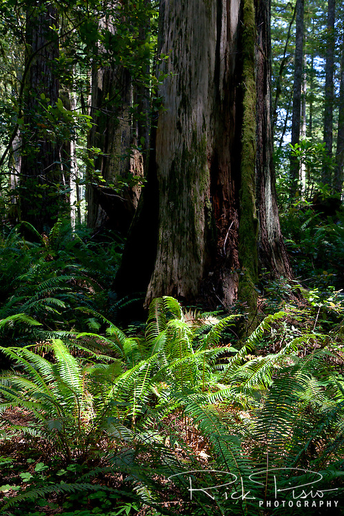 Sunlight shines on a clump of ferns along the Oregon Redwoods Trail in the Siskiyou National Forest near Brookings, Oregon.