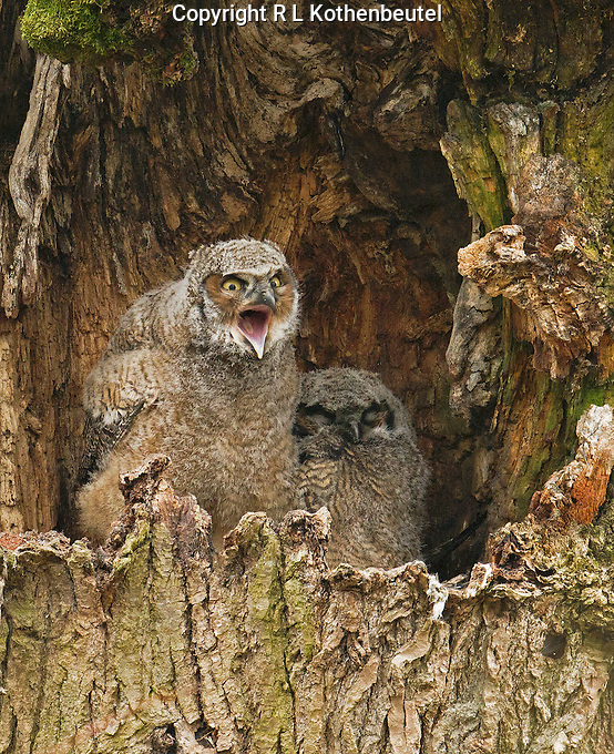 Two great horned owl nestlings in a tree cavity, one of which is yawning while the other hides in the background.<br /> Nisqually National Wildlife Refuge, Washington State<br /> 2/12/2013