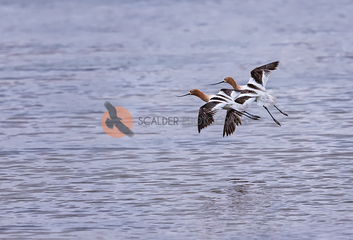 A pair of American Avocets in breeding colors, inflight beside each other over water