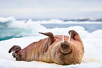 Atlantic walrus, Odobenus rosmarus rosmarus, adult, male, on multi-year ice floes, Bolscheoya, Svalbard, Norway, Barents Sea, Atlantic Ocean
