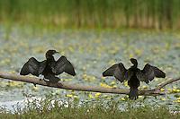 Two Pygmy Cormorant (Phalacrocorax pygmeus) drying next to the lake, Hortobagy National Park, Hungary