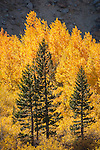 Golden aspen trees and pines during autumn in the High Sierra of Mono Co., Calif...East of Tioga Pass at Warren Fork.
