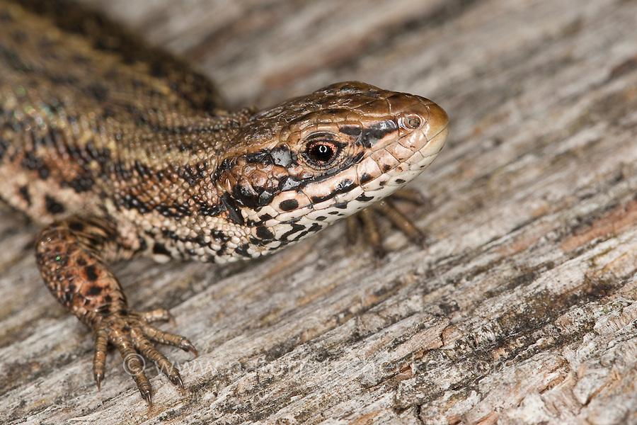 Waldeidechse, Mooreidechse, Bergeidechse, Portrait, Porträt, Wald-Eidechse, Moor-Eidechse, Berg-Eidechse, Lacerta vivipara, Zootoca vivipara, viviparous lizard, European common lizard