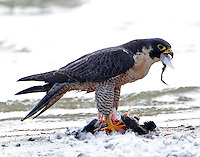 Adult peregrine falcon. They eat most of the prey including feathers.