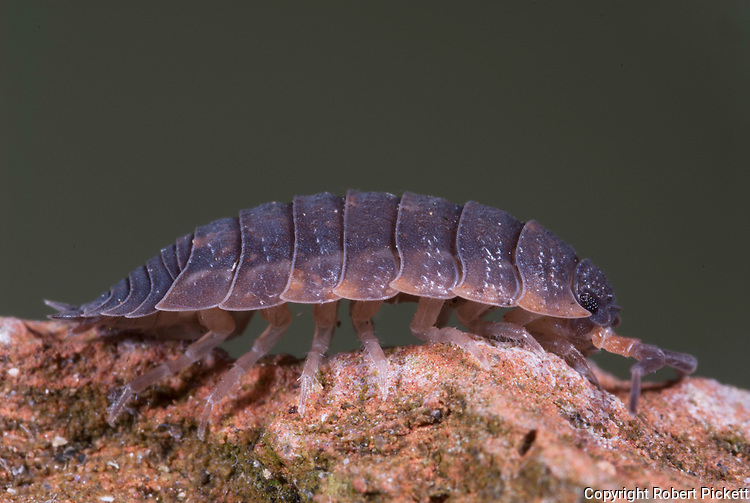 Common Woodlouse, Oniscus asellus, on old brick in garden, segmented body, legs