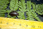 Predacious Diving Beetle Colymbete sculptilus