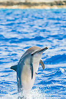 spinner dolphin breaching, Stenella longirostris, Hawaii ( Central Pacific Ocean )