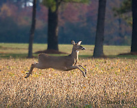 1107-0810 White-tailed Deer, Alert and Running in Autumn, Doe (Female), Odocoileus virginianus  © David Kuhn/Dwight Kuhn Photography.