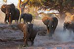 Namibia;  Namib Desert, Skeleton Coast, Huab River, desert elephant herd (Loxodonta africana) charging