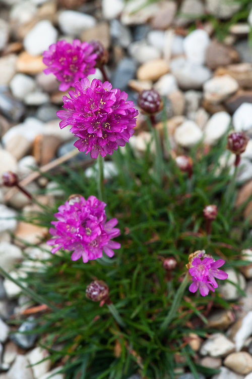 Armeria maritima 'Dusseldorfer Stolz', late May. A form of Sea Thrift or Sea Pink, a compact, dense, tufted, evergreen perennial with stiff, grass-like, dark green leaves and slender, erect, stems bearing compact, rounded clusters of dark pink to reddish-pink flowers from mid-spring into summer.
