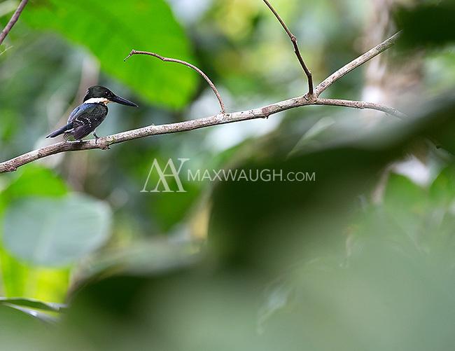 A green kingfisher hunting near the Rio Claro.