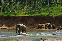 Elephants at Pinnawala, Sri Lanka