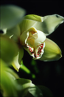 White symbidium orchid. New York.