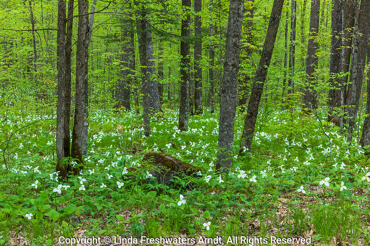 Large-flowered trillium growing in northern Wisconsin.