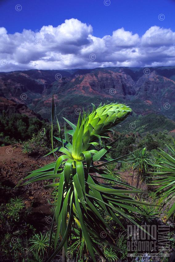 Kauai greensword, Iliau, bog plant