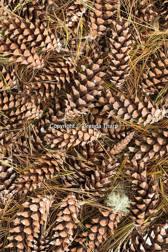 Detail of forest floor pine cones, Madeline Island, Wisconsin.