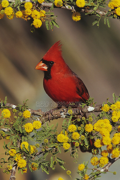Northern Cardinal (Cardinalis cardinalis), male on blooming Huisache (Acacia farnesiana), Starr County, Rio Grande Valley, Texas, USA