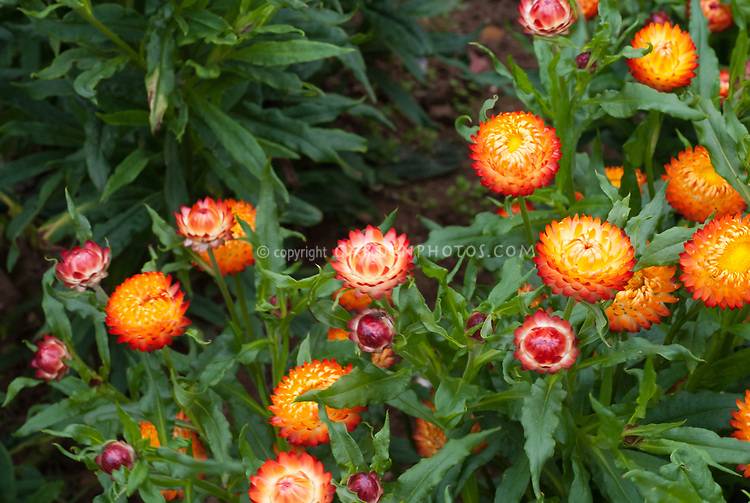 Helichrysum bracteatum Dwarf Mixed strawflowers, orange, pink, dried flowers, flowers for drying, annual flowers