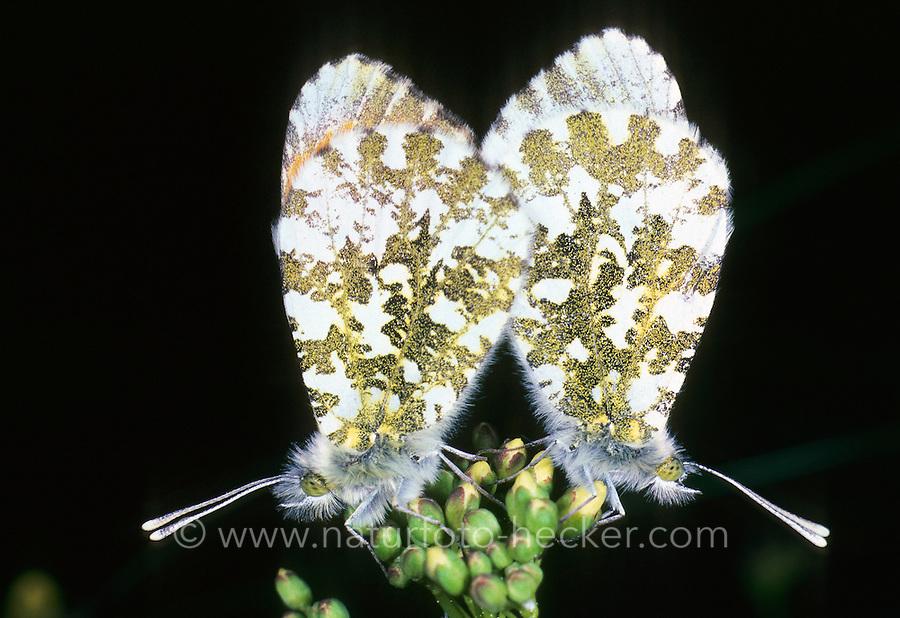 Aurorafalter, Paarung, Kopulation, Kopula, Aurora-Falter, Anthocharis cardamines, orange-tip, copulation