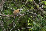 Le Maki catta (Lemur catta)