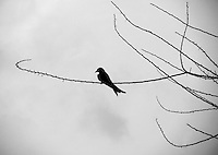 """Black & white fine art photo of a lonely black drongo sitting on a branch of a dry tree at dusk.<br /> <br /> View the gallery - """"Birds"""" for the color version of this image."""