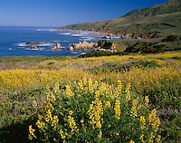 Garrapata State Park, CA<br /> Yellow bush lupine (Lupinus arboreus) blooming on a hillside above the rocky coast line and surf at Garrapata State Park at Big Sur