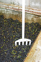 Fermenting grapes with a fork in the cap. Gamay. Domaine Melinon, Morgon, Beaujolais, France