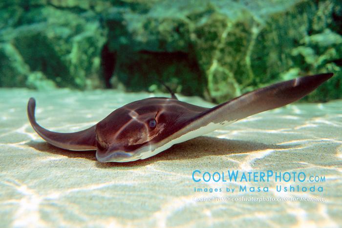 bat ray (c), .Myliobatis californicus, .California (E. Pacific)