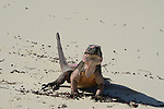 The Exuma Island iguana (Cyclura cychlura figginsi) is listed on the IUCN Red List as a critically endangered subspecies of northern Bahamian rock iguana, found only on the Exuma islands, Bahamas. The Exuma Island iguana is the smallest of the three subspecies of C. cychlura. Live to 23 years old;