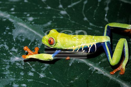 Monte Verde, Costa Rica. Red-eyed tree frog (Agalychnis callidryas), a venom bearing species.