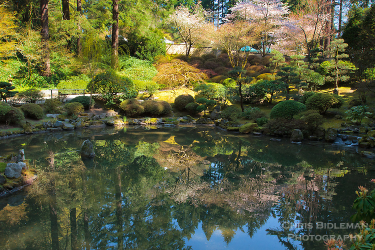 Upper pond of the strolling pond garden with a reflection of the Spring blossoms on the cherry trees is seen at the Portland Japanese Garden