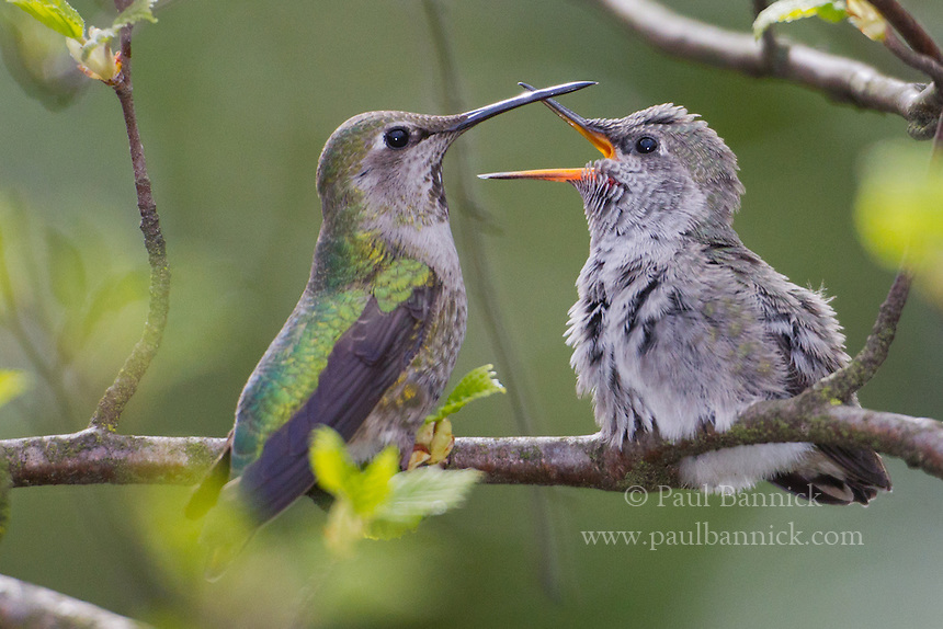 A fledgling Anna's Hummingbird pleads her mother to begin feeding.