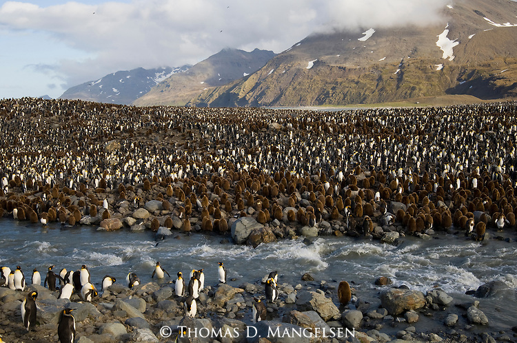 A colony of king penguins in St. Andrews Bay on South Georgia Island.