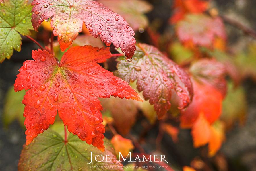Autumn Douglas maple leaves in rain.