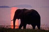 African Elephant (Loxodonta africana) Lake Kariba, Matusadona National Park, Zimbabwe.  Sunset.