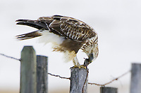 Rough-legged hawk eating a captured vole