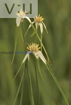 White-bracted Sedge (Dichromena latifolia), North America.