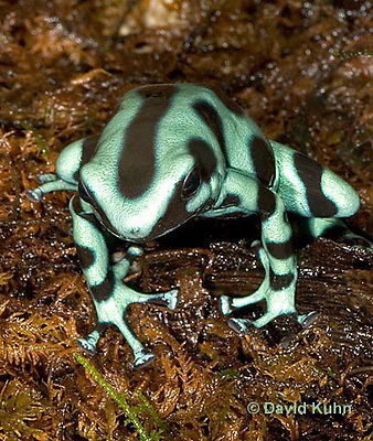 0930-07qq  Dendrobates auratus ñ Green and Black Arrow Frog ñ Green and Black Dart Frog  © David Kuhn/Dwight Kuhn Photography