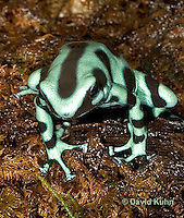 0930-07qq  Dendrobates auratus ñ Green and Black Arrow Frog ñ Green and Black Dart Frog  © David Kuhn/Dwight Kuhn Photography