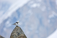 Snow bunting perched on a rock in the Alaska Range mountains.