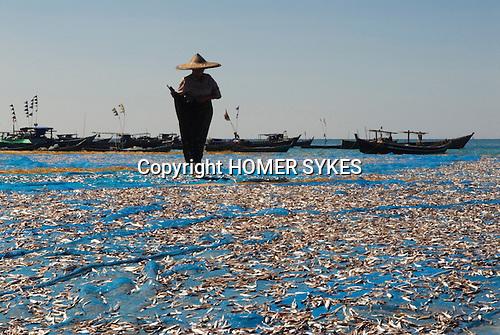 Jade Taw fishing village, fish drying. Ngapali Beach Southern Rakhaing state.  Myanmar Burma 2008. Woman wearing flowers in hair