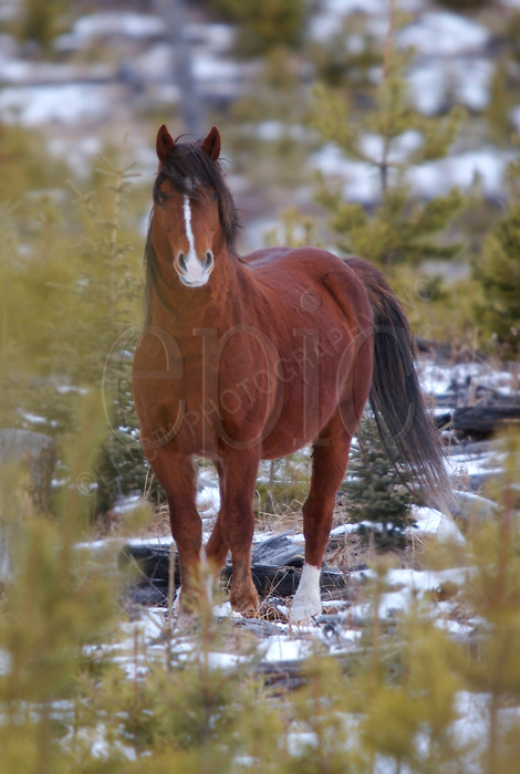 A wild stallion roams, on Friday January 5, 2007, in the foothills west of Sundre Alberta. John Ulan/Epic Photography.