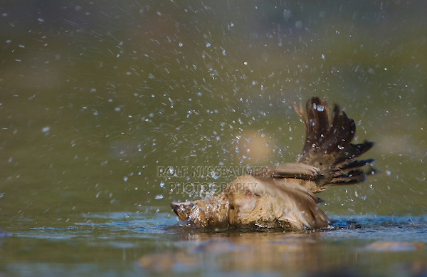 Blue Grosbeak, Guiraca caerulea, female bathing, Willacy County, Rio Grande Valley, Texas, USA, June 2006