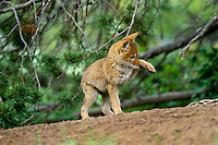 Wild Coyote (Canis latrans) pup playing near its den.  Western U.S., June.