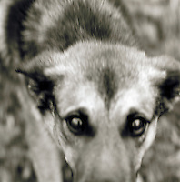 German Shepard dog, black and white